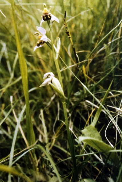 Bee Orchid (Ophyrs apifera) - British species of orchid now rare, pictured on the banks of a railway cutting in Bedfordshire. The Bee Orchid grows to a height of 15–50 centimetres. It develops small rosettes of leaves in autumn. They slowly grow during winter. Basal leaves are oblong, upper leaves...