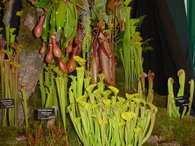 "Sarracenia, from the Latin. purpurea, from the Latin, ""purple"". Common Name, from the unusual shape of the leaf and its capacity for holding water. Other common names include Common Pitcher Plant, Purple Pitcher-Plant, Flytrap, Sidesaddle Plant, Huntsman's Cup, Frog's Britches