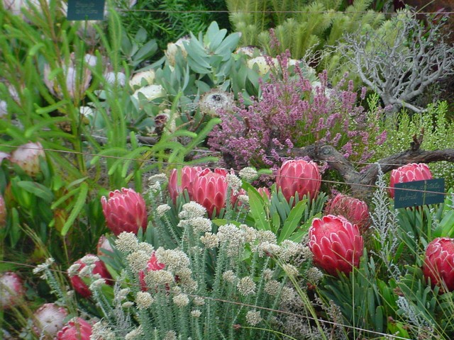 The Proteaceae are an ancient family, probably one of the oldest groups of flowering plants. Scientific probes into the early history of plant life have shown that the ancestors of today's Protea were present 300 million years ago. Proteaceae are best represented in South Africa along the south and ...