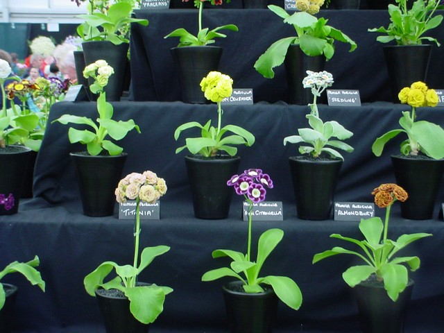 Auriculas are members of the Genus Primula which is a large family of plants comprising over 425 species and many thousands of hybrids.