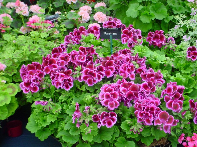 Geraniums are one of the most popular decorative plants for both indoor and outdoor use. There are two different groups of plants known as geraniums. The showy, flowering geraniums, normally grown as indoor and outdoor plants in Nebraska, are members of the genus 'Pelargonium.' They are subtropical ...
