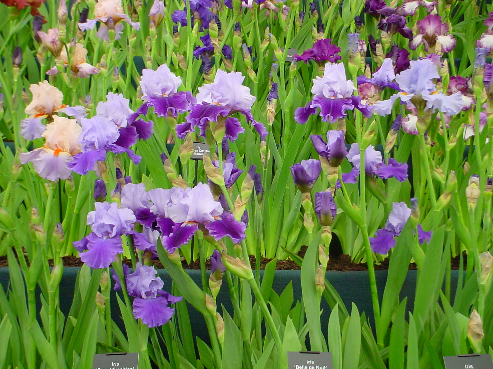 There are hundreds of varieties of this easy to grow perennial flower. Regular Irises come in several colors. Some are Bearded, while others are beardless. Regular Irises make great cut flowers, with their tall, sturdy stalks. Dwarf varieties grow much smaller, less than eight inches tall.