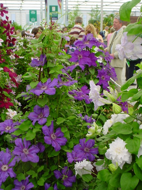Clematis at the Royal Horticultural Society show.