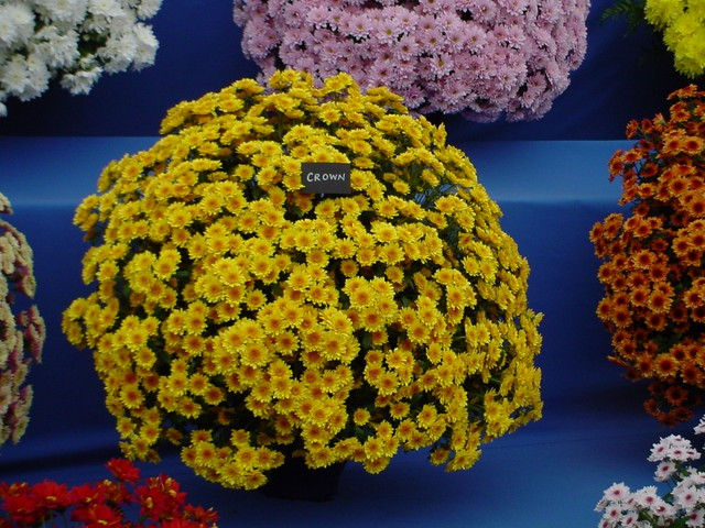 A display of Chrysamthemums (Dendrathema) at the Royal Horticultural Society Show at Chelsea, 2005