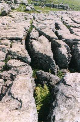 Grykes in the limestone pavement, caused by rainwater dissolving the sides of vertical joints, provide a sheltered habitat for relatively tender plants.