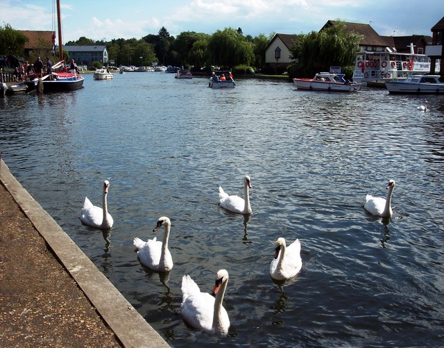 Swans on the Norfolk Broads at Wroxham, August 2005