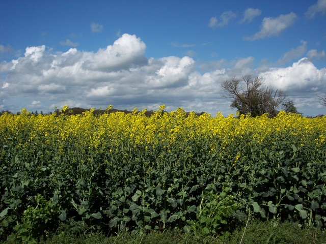 "Oilseed rape is a ""break crop"" - one that helps improve the soil and yield of cereal crops planted afterwards, in particular wheat. It cannot be grown too regularly in the same field or the risk of disease builds up. Oilseed rape is always grown as part of a rotation and rarely returns to ..."