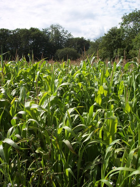 Maize is a domesticated form of a wild grass. It was introduced to the UK in the early part of the twentieth century. It is grown largely for forage, as the UK summers are not warm enough to ripen the crop. It has become the most important forage after grass with around 100,000 hectares grown annual...