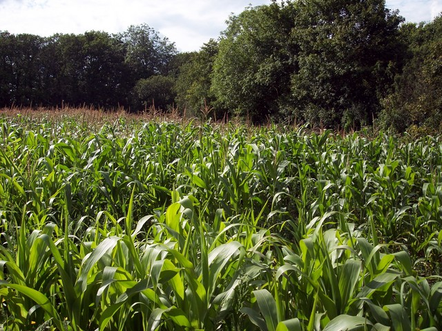 Maize is a domesticated form of a wild grass.  It was introduced to the UK in the early part of the twentieth century.  It is grown largely for forage, as the UK summers are not warm enough to ripen the crop. It has become the most important forage after grass with around 100,000 hectares grown annu...