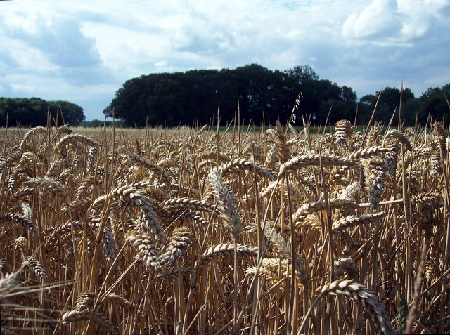 Wheat is a grass with a swollen grain which can be ground to produce flour for making bread and biscuits. It is the world's most important crop. It is versatile and can be sown in autumn or spring. Both sowing times are harvested in August. Due to climate, autumn sowing dominates in the UK, allowing...