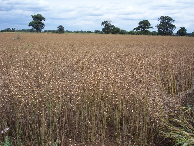 Flax can be used both as a food crop and non food crop used to make linen.
