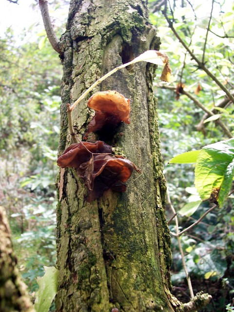 This fungus has jelly-like flesh, and its spores fall from little spore-holders, placing it in the Basidiomycetes. It is frequently used in egg rolls and other Chinese dishes in stuffings and fillings, as the dried pieces are rather tasteless.It grows on tree bark and decaying logs. Its appearance i...
