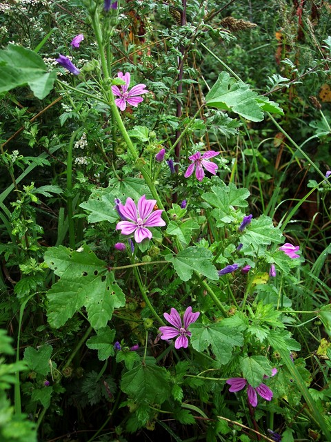 A robust herb (45-90cm)with rose purple flowers with darker viens, found on roadsides, wasteland and in hedgerows.