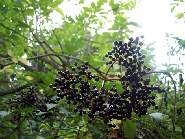 A shrub or small tree (up to 10m), elder is common in hedgerows, woods and scrubland. It has creamy five lobed flowers.  In late summer / early autumn it produces black edible berries.  Pictured at the Old Warden railway cutting Bedfordshire August 2005.