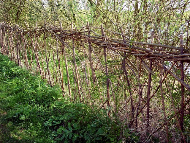 Hedge laying is the art of cutting a hedgerow stem partly through so it will bend without breaking but will continue to grow. The laid stems are arranged to form a stockproof barrier. New growth comes from the cut stump rejuvenating the hedge and thickening the base. A well-laid hedge provides a hab...
