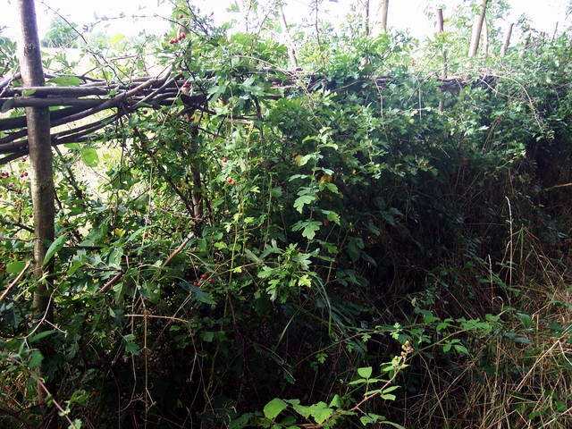 Once established in additon to the species used to construct the hedge such as Hawthorn, blackthorn or dog rose, other plants native to the area can either be planted or allowed to naturally colonize the hedge.  These include species of climbing plants such as Wild Clematis which provides food and n...