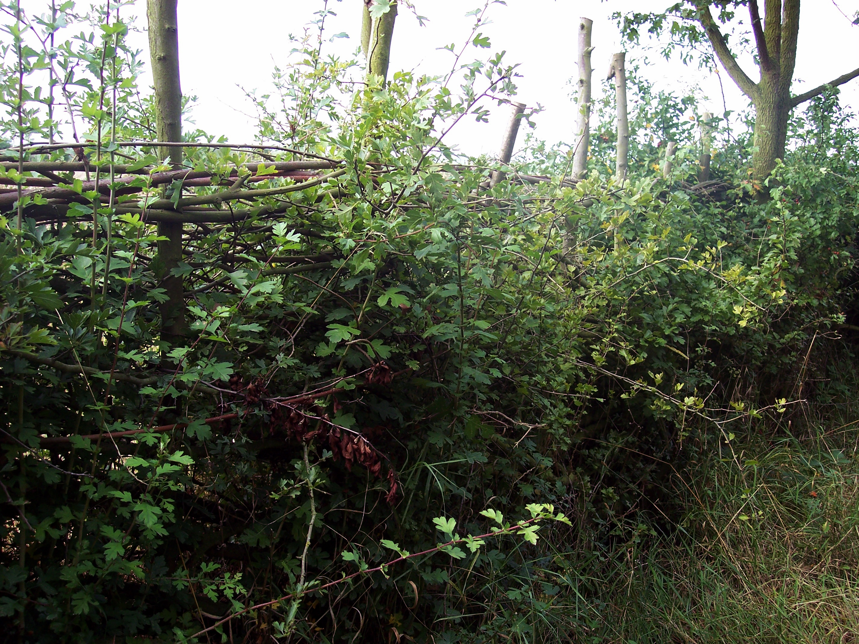 Once established in additon to the species used to construct the hedge such as Hawthorn, blackthorn or dog rose, other plants native to the area can either be planted or allowed to naturally colonize the hedge. These include species of climbing plants such as Wild Clematis which provides food and ne...