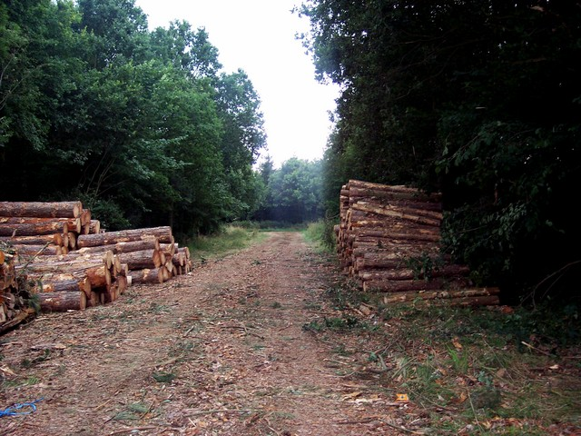 This wood in Bedforshire is run by the Forestry Commission. At the beginning of the twentieth century woodland was only 5% of Britain � and falling. It is now nearly 12% - and rising. The forestry commission bases its forestry policies and practices on sustainability, -social, economic and environme...