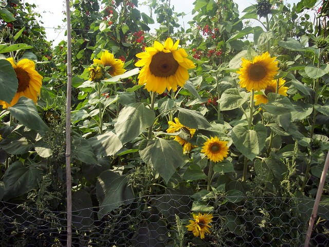 Sunflowers originated in subtropical areas. Modern cultivated varieties reach a height of 1.5-2.5 m with large yellow flowers (15-30cm). They grow best at 20-25�C. However selective breeding has been made the plants highly adaptable. It grows best on well-drained but moist soils with a near neutral ...