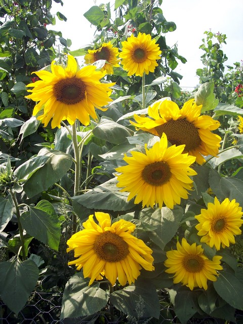 Sunflowers are tall annual plants (between 1.5 and 2.5 m at flowering) that originated in subtropical areas. Sunflowers usually have one large yellow flower to a stem (15-30cm).  Leaves are large, dark green and roughly heart shaped.