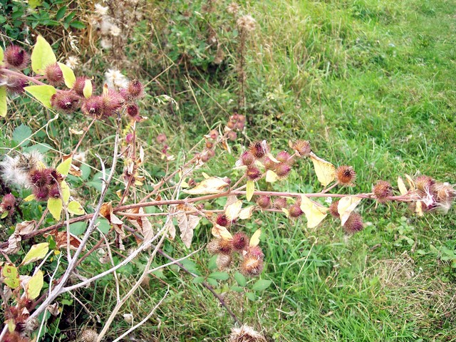 Burdock is characterised by the round burrs that stick to clothing.  They have hooks at the end of the bracts,  this allows the plant to spread its seeds over a wide area.  The plant has upright stems with several branches.  Its purple red flowers can be seen between July and September (although thi...