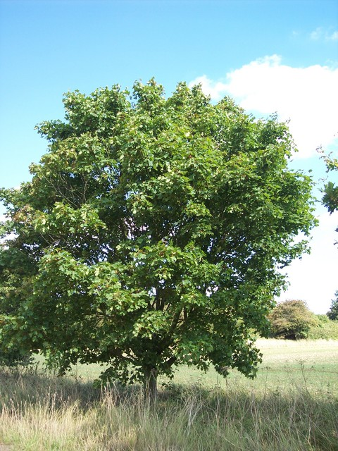 The sycamore tree can reach a height of 30-35 metres. It has distinctive 5-7 lobed leaves that are coarsely toothed. It can live for several hundred years. It flowers in April and May, producing small yellow green flowers on pendants. The fruit is winged and appears in late summer/early autumn enclo...