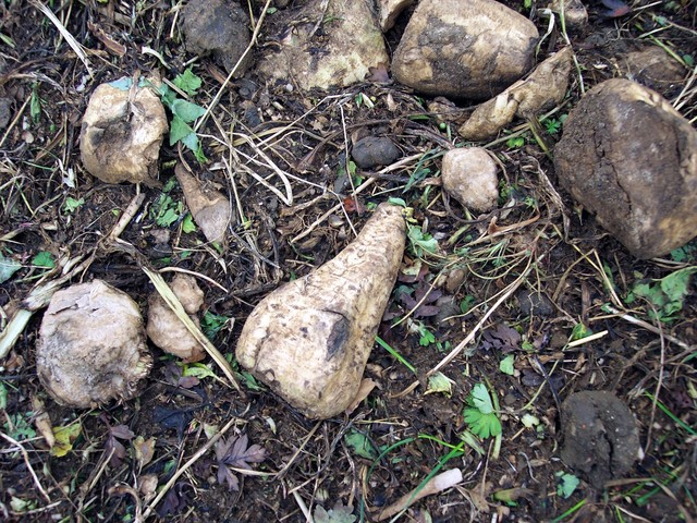 Sugar beet is an important crop of arable rotations, grown in conjunction with wheat, barley or pulses. It is a break crop, (one that improves the soil by returning organic matter and preventing the build up of disease). It is sown from early March to April and harvested before the onset of winter f...