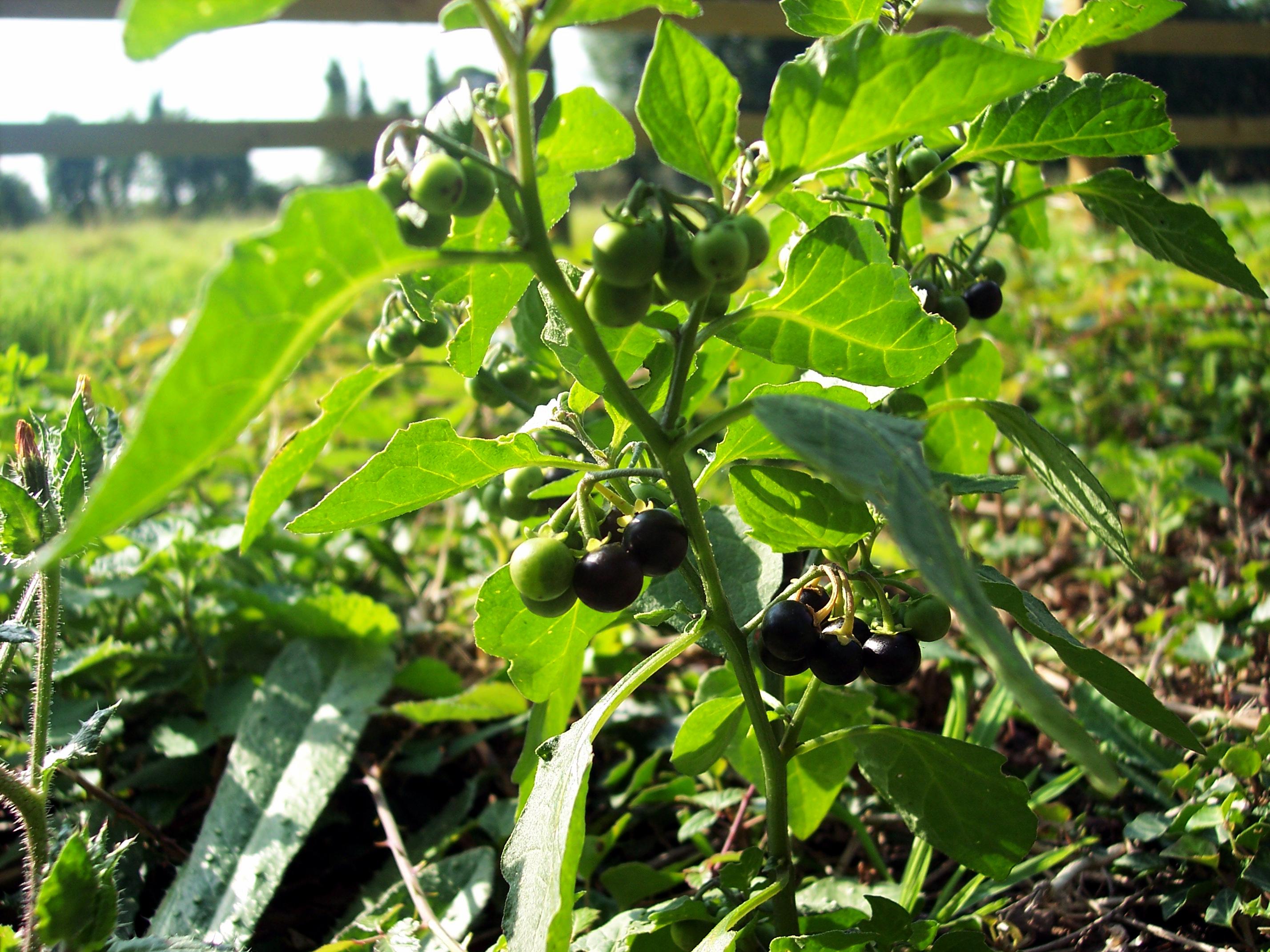Black Nightshade Solanum Nigrum Nen Gallery