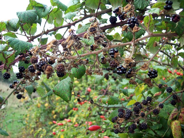 There are many microspecies of bramble, a prickly climbing shrub of the rose family with white flowers and black berries. It grows in scrubland, gardens, wasteland, hedgerows and woodlands. According to old folklore, blackberries must not be eaten after Michaelmas (Sept 29th) because the Devil spits...