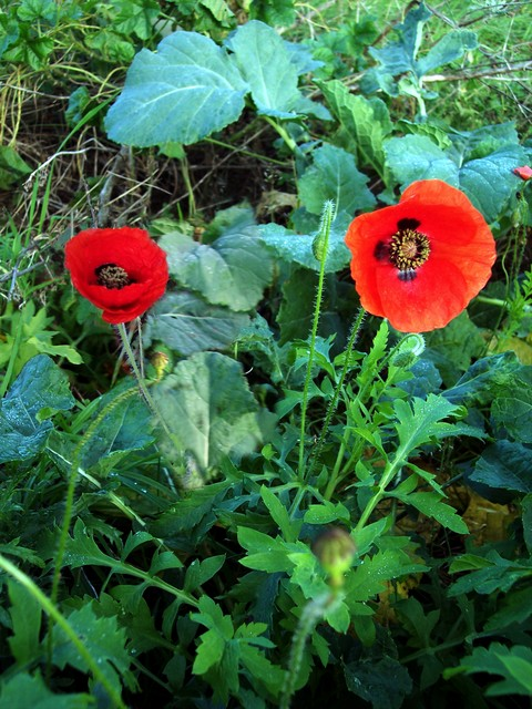 This flower sheds its petals after a single day but may produce over 400 flowers in succession over the summer.  It usually flowers from May to October but these plants were pictured appropriately enough on Armistice Day (11th November) on disturbed ground near Bedfordshire.  This is probably the sp...
