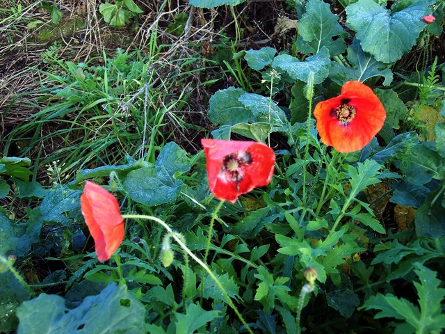This flower sheds its petals after a single day but may produce over 400 flowers in succession over the summer. It usually flowers from May to October but these plants were pictured appropriately enough on Armistice Day (11th November) on disturbed ground near Bedfordshire. This is probably the spec...