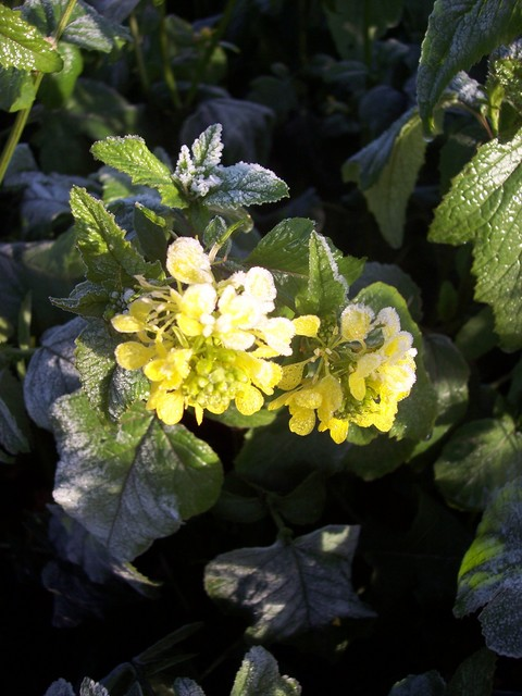 This plant was grown as a condiment over 2000 years ago. In the 13th century cooks began grinding up the peppery seed to make mustard. Today it has mainly been replaced by a related species,rape,  and grows mainly as a weed on arable land. It has also been used to cure colds and chest ailments. Pict...