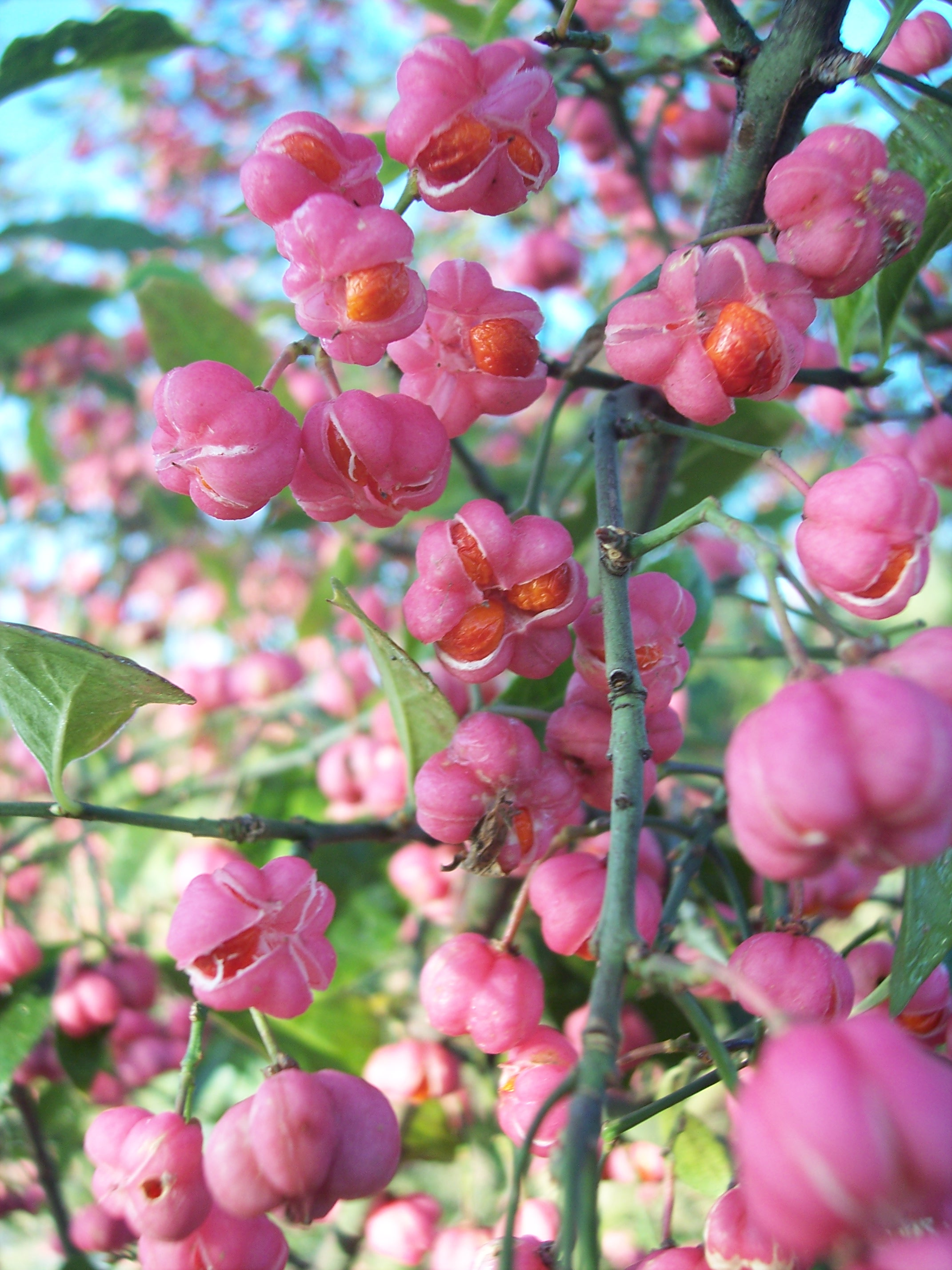 A shrub or small tree 2-6 metres tall,  spindle produces small greenish white flowers during June and July.  Between September and November it produces four lobed fruits, which are a bright coral pink (pictured).  The fruits open by splits to expose bright orange seed sheaths.  It grows in woodlands...