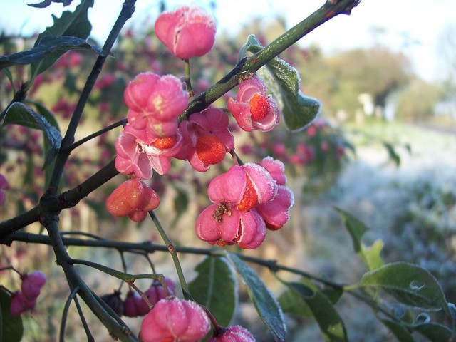 A shrub or small tree 2-6 metres tall. Spindle produces small greenish white flowers during June and July. Between September and November it produces four lobed fruits, which are a bright coral pink (pictured). The fruits open by splits to expose bright orange seed sheaths. It grows in woodlands and...