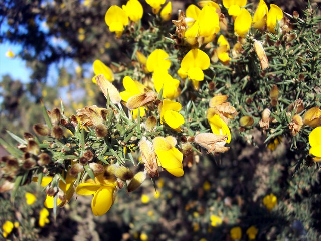 Gorse has green stems and leaves modified to form spines. It has bright yellow flowers and prefers light lime-free soils. Thoroughly crushed, it used to be used as winter cattle feed and as a fuel. It can grow up to eight feet high in thick patches in rough grassy places. It can flower any time of t...