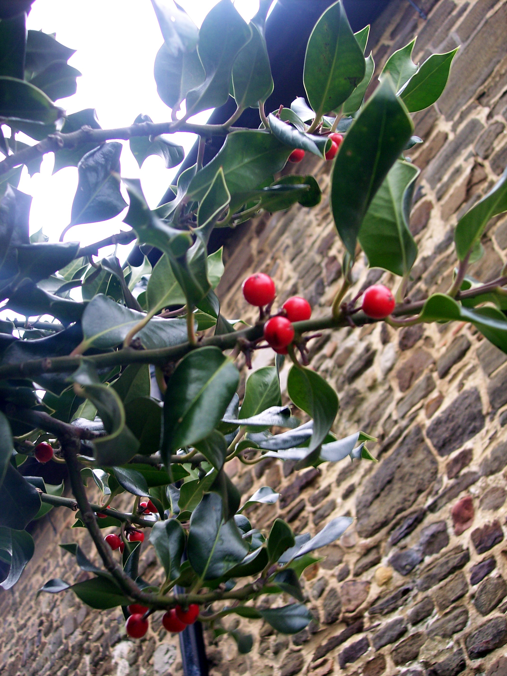 Usually a small shrub 3-15 m but holly can grow into a large tree. It has smooth thin bark, glossy green leaves with wavy edges and spines. It flowers May - August and the female plants produce bright red fruits in Autumn/Winter. Pictured at Maulden, Bedfordshire early December 2005