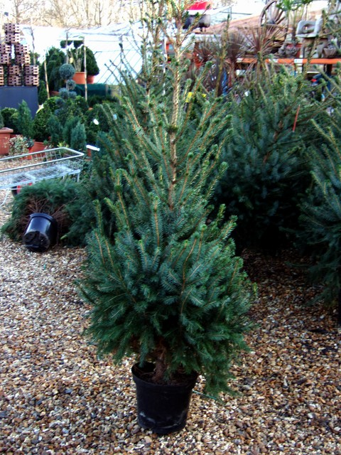 The type of tree usually grown for Christmas is the Norwegian Spruce because it has a good shape for decoration and a lovely pine smell, but other fir trees that do not shed their needles, and artificial trees are also popular.