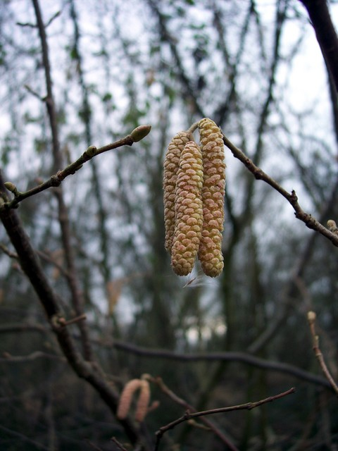 This picture shows some immature male catkins.  Hazel is a large shrub with smooth brown stems found at the edges of woods and hedges.  The young shoots and leaves are hairy.  The male catkins are long and droopy, in early spring they become yellow with pollen, before the leaves develop. The female ...