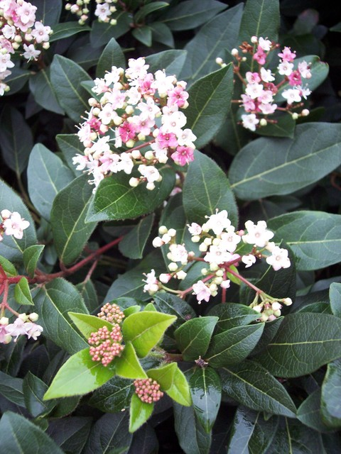 Although found in a hedgerow, this plant was similar to one growing in a near by churchyard and appears to be an early flowering species of Viburnum (probably a variety of viburnum tinus), very close in appearance to the native species the Wayfaring Tree (Viburnum lantana), but without the fine teet...