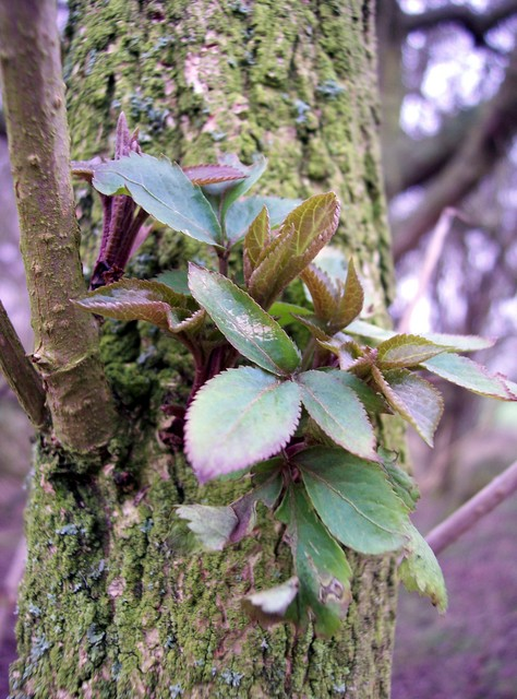 Elder can spring up with astonishing speed on disturbed ground.  It is one of the first trees to shoot new leaves in winter.  The bark on older trees is brown and deeply furrowed, young branches are smooth with well marked pores.  It has oval pinnate leaves, 2 or 3 pairs per stem.  Its flowers are v...