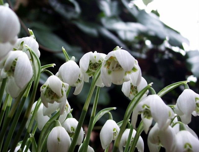 This species has a small leaf-like protective cover to the tip of the flowering stem. This allows the snowdrop flower to force its way up through the snow or earth. It provides an early feast for bees, which in turn pollinate its flowers. Clumps of snowdrops are found in woods and hedgerows througho...