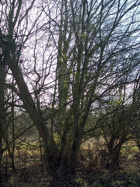 This used to be the classic English hedgerow tree. It has small rounded rough-surfaced leaves which are longer on one side than the other.  It has slim  twigs with dark buds.  The red flowers are produced in late February or March ripening by May, to give seeds with round wings.  The tree bark is da...