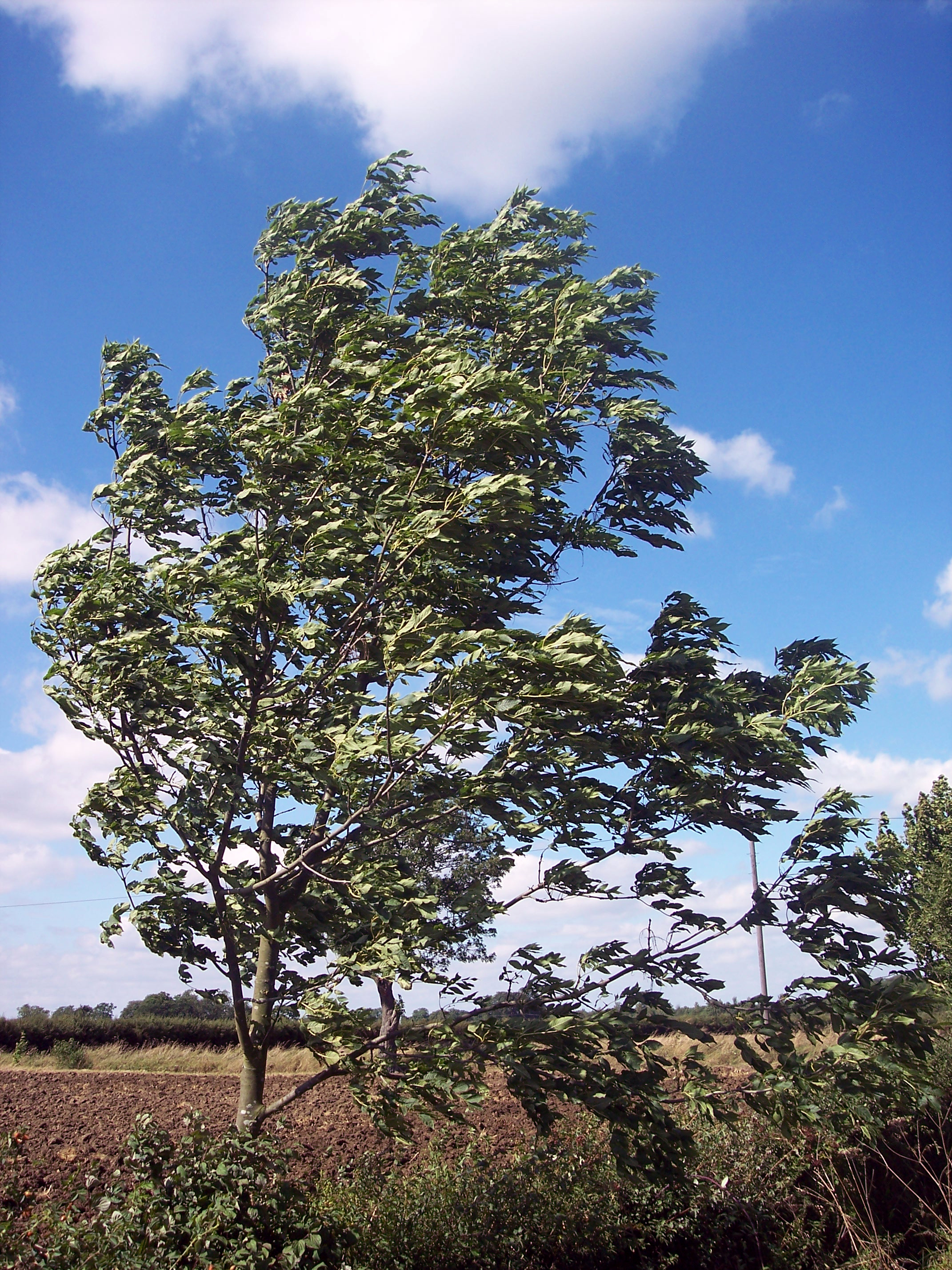 A very common tree that can reach a height of 30-32 meters. In late Autumn /winter it can be easily distinguished by its black buds and in summer by its distinctive pinnate leaves. The flowers appear in April before the leaves and are wind pollinated. It produces both male, female and bisexual flowe...