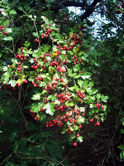 Thorny shrub or tree (up to 10m) with dark green deeply lobed leaves.  It flowers in spring (May-June), producing white clustered flowers very like those of Blackthorn with which it is often confused. In late summer it forms the bright oval red fruits 'haws' shown in the picture.  It is very common ...