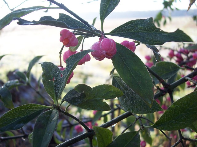 A shrub or small tree 2-6 meters tall. Spindle produces small greenish white flowers during June and July. Between September and November it produces four lobed fruits, which are a bright coral pink (pictured). The fruits open by splits to expose bright orange seed sheaths. It grows in woodlands and...