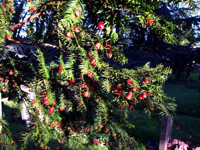 The Yew produces bright red fruits on female trees, as the yew is a dioecious species (with separate male and female plants).  This tree was pictured in Stagsden Church yard in Bedfordshire- mid November 2005.