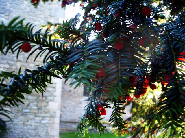 The poisonous red fruit is formed on the female tree.  The fruit is cup shaped and called an 'aril' because it does not enclose the seed which lies at the base of the cup. This tree was pictured in Stagsden Church yard in Bedfordshire- mid November 2005.