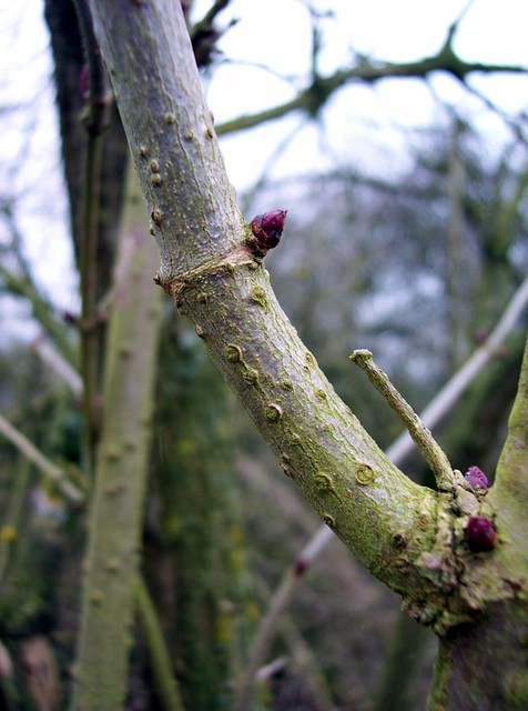 Elder can spring up with astonishing speed on disturbed ground.  It is one of the first trees to shoot new leaves in winter.  The bark on older trees is brown and deeply furrowed, young branches are smooth with well marked pores.  It has oval pinnate leaves 2 or 3 pairs per stem.  Its flowers are ve...
