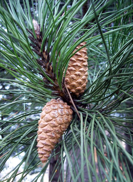 A tall pine tree with a dense branching crown and very dark bark.  It has paired leaves that are dark green and straight when young but then curve in. The buds have long pointed tips.  The cones are like long lopsided Scots Pine cones.  It is native to central Europe but widely planted in Britain fo...