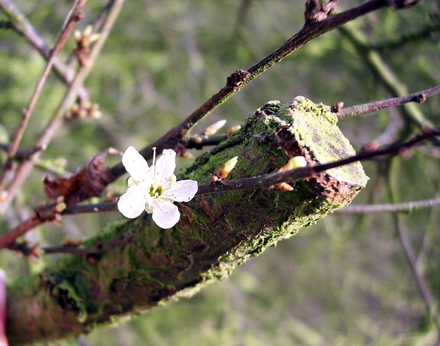 The cherry-plum is just starting to flower. A shrub or small tree usually less than 10m high, cherry-plum usually start flowering in March, and is the first white-flowered blossom tree (usually 2-3 weeks before blackthorn) producing flowers about 2cm across. It flowers at the same time as the young ...